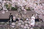 [人気]桜シーズンのフォトウエディング